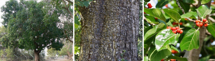 Tree of the year: Ekebergia capensis Cape ash, Essenhout