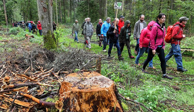 Beetles are ravaging Europe's oldest forest. Is logging the answer?
