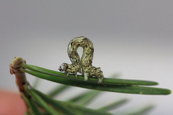 Before These Caterpillars Become Moths, They Unite to Destroy Forests