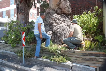 City of Cape Town slams 'malicious' poisoning of gum trees