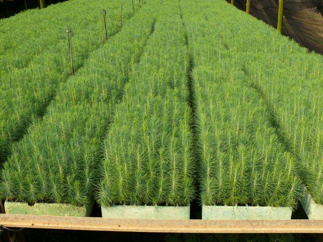 A healthy stand of Pinus patula seedlings